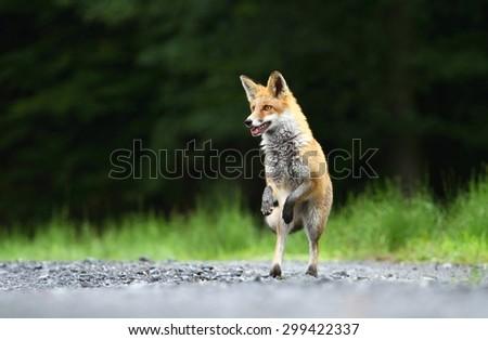 Fox jumping - stock photo