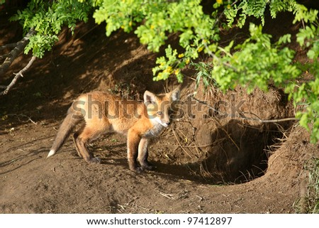 Fox kit by its den in Saskatchewan - stock photo