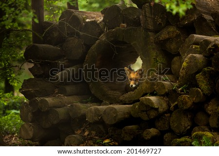 Fox lying between pile of wood in forest - stock photo