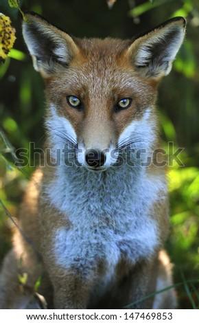 Fox Portrait - stock photo