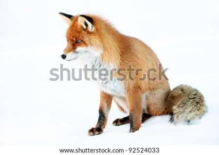 Fox portrait isolated on white - stock photo