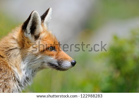 Fox profile (Vulpes vulpes) - stock photo