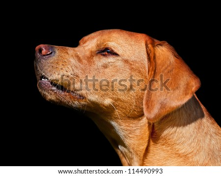 Fox red (dark golden) Labrador growling/barking at something out of view (anger + aggression) - stock photo