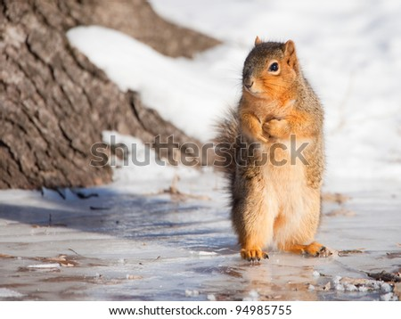 Fox squirrel sitting up on ice-covered ground - stock photo