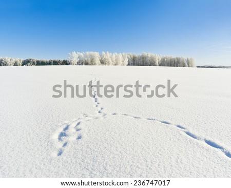 Fox trails on snowy field - stock photo