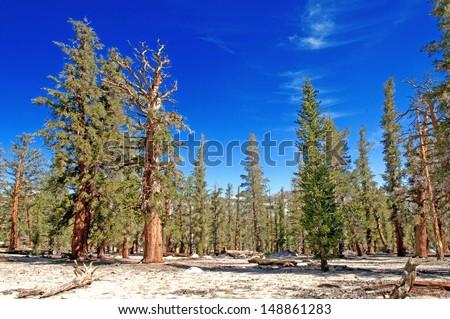 Foxtail Pines, Sierra Nevada Mountains, California, USA - stock photo