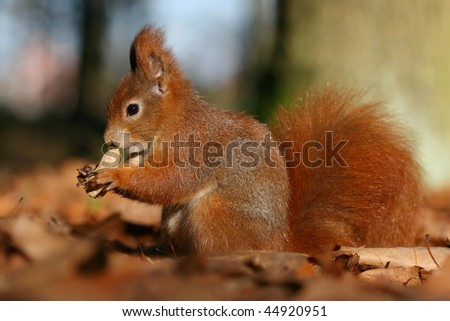 Foxy squirrel - stock photo