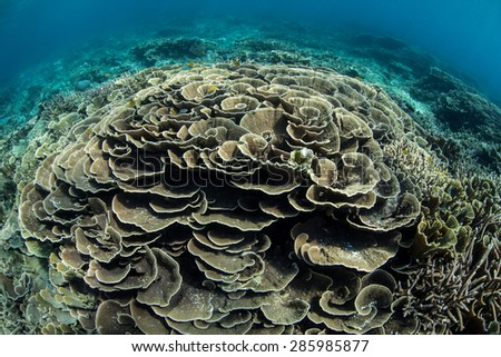 Fragile, foliose corals grow on a reef in Raja Ampat, Indonesia. This area, found off the west coast of Papua, harbors some of the Coral Triangle's most healthy and robust reefs. - stock photo