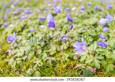 Fragile purple blooming and budding yellow hearted wood anemone or Anemone nemorosa plants growing in the wild nature in the Netherlands. It is up to the beginning of the spring season. - stock photo