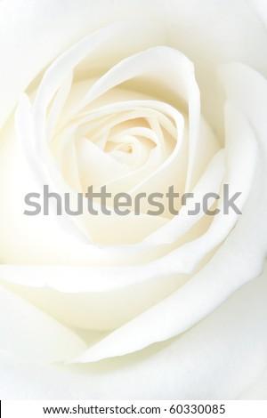 Fragile white rose. Macro. - stock photo