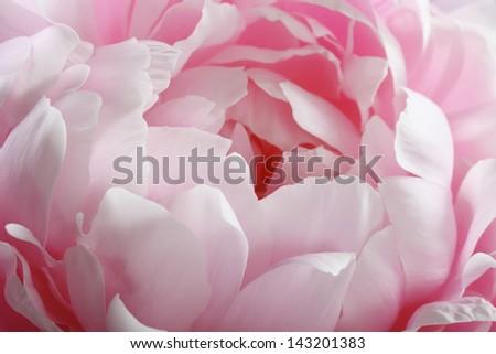fragment of pink peony - stock photo