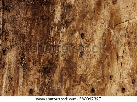 fragment of the tree is infected beetle bark beetle (Ips tipografus) - stock photo
