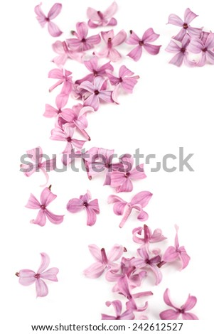 Fragrant lilac blossoms as a design element or border. Spring flowers on white background as design element.  - stock photo