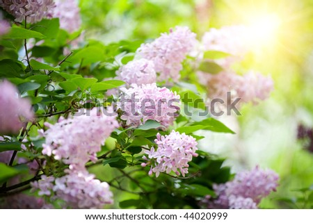 Fragrant lilac bush in the spring garden - stock photo