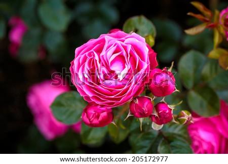 Fragrant Rose in Full Bloom. Washington Park Rose Garden, Portland, Oregon - stock photo