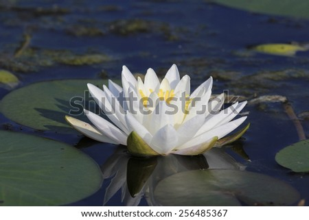 Fragrant Water Lily (Nymphaea odorata) Blooming on a Northern Ontario Lake - stock photo