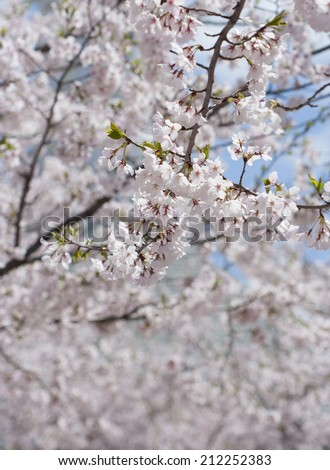 frame full of pink cherry blossoms with single branch in foreground in focus - stock photo
