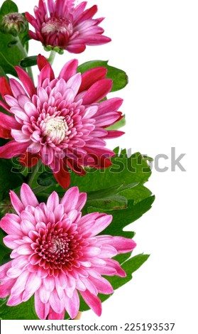 Frame of Beauty Pink Chrysanthemum with Leafs and Buds isolated on white background. Focus on Foreground - stock photo