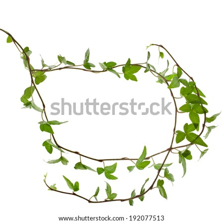 Frame of Green ivy plant close up isolated on white background  - stock photo