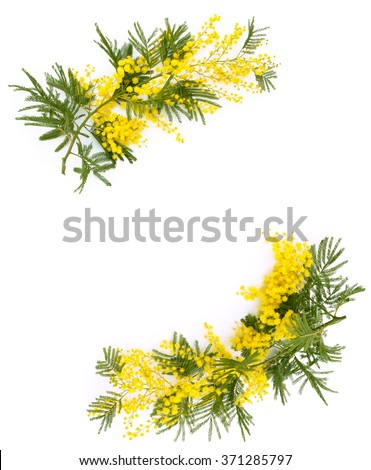Frame of mimosa flower. Isolated on white. - stock photo