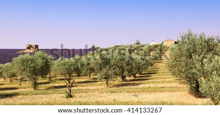 France, landscape of Provence: olive trees and lavender field  - stock photo