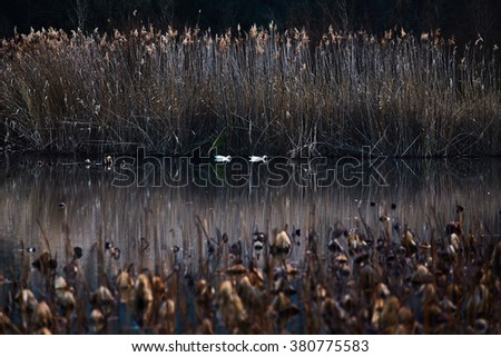 France, Mougin, provence, Duck swimming in a pond at sunset, among dried reeds and lotuses, a reflection of the sunset sky, reeds, dry grass - stock photo