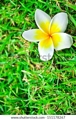 Frangipani flower and drops on green grass - stock photo