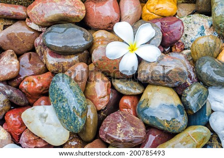frangipani flower on pebble  - stock photo