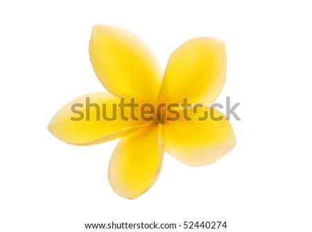 Frangipani flower on white. Plumeria - stock photo