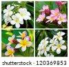 Frangipani flower species . - stock photo