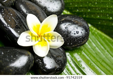 Frangipani flower with spa stones on fresh green leaf - stock photo
