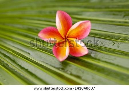 frangipani flowers and wet palm leaf texture - stock photo
