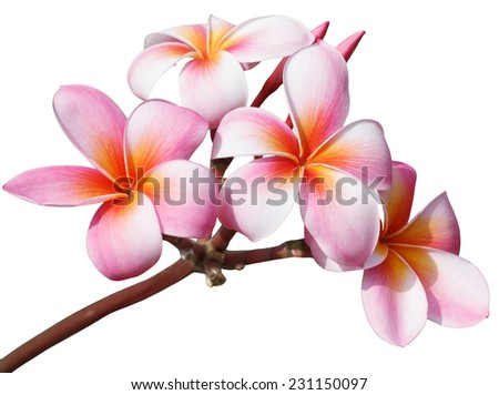 Frangipani flowers isolated on white background  - stock photo