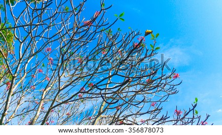 Frangipani flowers with branchs on sky background - stock photo