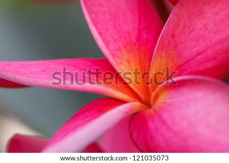 Frangipani is a beautiful red color is unique - stock photo