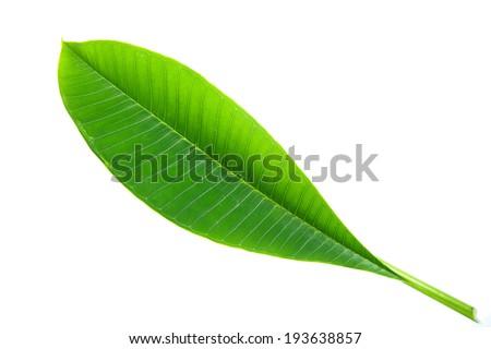 Frangipani leaf isolated on white background - stock photo
