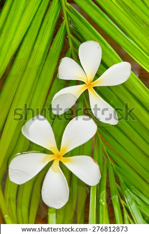 frangipani on wet palm leaf  - stock photo