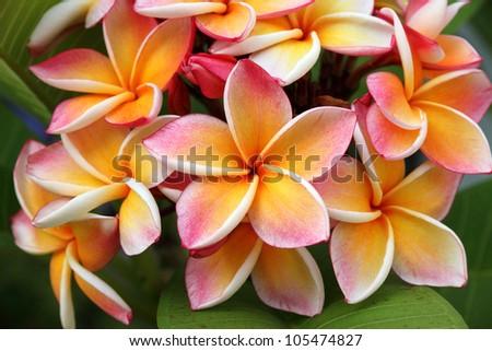 Frangipani, Plumeria flower - stock photo