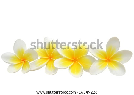 Frangipani (plumeria) flowers isolated on white - stock photo