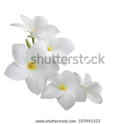 Frangipani (plumeria) flowers isolated on white background - stock photo