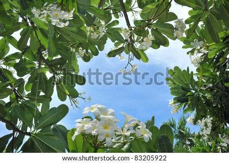 frangipani, temple flower with blue sky - stock photo