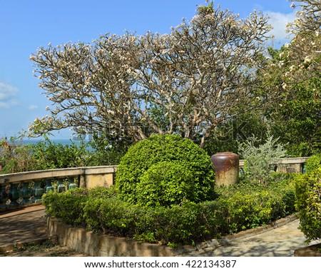 Frangipani trees in bloom in Vung Tau, Vietnam - stock photo