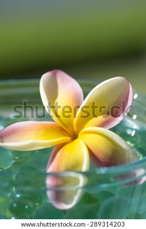 Frangipani Tropical Spa Flower.Plumeria Flower over shiny grass and water - stock photo