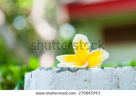 Frangipani Tropical Spa Flower. Plumeria. Shallow DOF - stock photo