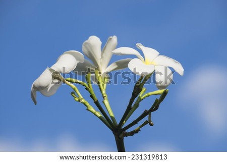 Frangipani white flower blooming with soft light in the morning, Plumeria blooming. - stock photo