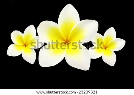 frangipanis over a black background. - stock photo
