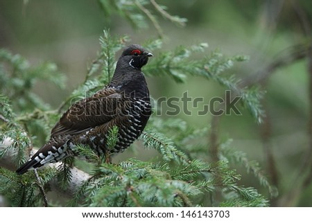 Franklin's Spruce Grouse, Falcipennis canadensis, adult male in forest habitat near the Washington state / Canada border - stock photo