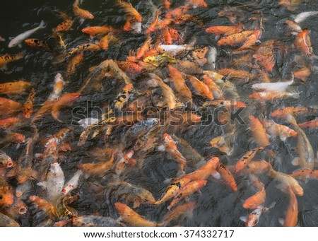 Frantic goldfish, carp, being fed  at the entrance to the Imperial City, Hue, Vietnam - stock photo