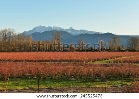 Fraser Valley Blueberry Field and Golden Ears Mountain - stock photo