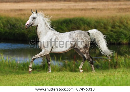 free arabian stallion - stock photo